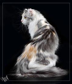 Stunning American Curl.   Littlepaw male- Trainer: Frostfoot- Mother: Silktuft- Father: Brackenstripe