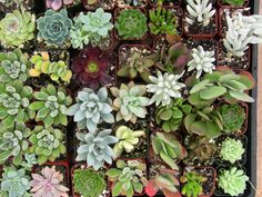 Collection of 80 small succulents