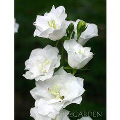 宿根草 カンパニュラ ホワイトティアラ 9cmポット植え AB