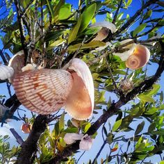 Run from Clearwater Beach to Caladesi Island along the shore and you will find these trees filled with shells. Clearwater Florida, Florida Beaches, Caladesi Island State Park, Bora Bora Honeymoon, Spring Break 2016, Vacation Destinations, Vacation Ideas, Honeymoon Island, Honeymoon Pictures