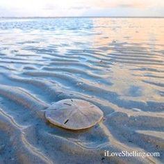 Sand dollar at low tide on Sanibel Island
