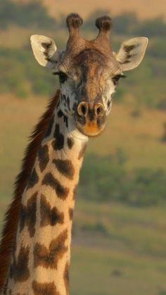 Giraffe Pictures, Wild Animals Pictures, Cute Wild Animals, Zoo Animals, Animals Beautiful, Animals And Pets, Animal Pictures, Funny Animals, Giraffe Art