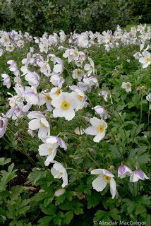 Anemone 'Wild Swan' - flowering May to November A magnificent new plant from the UK Elegant Flowers, White Flowers, Fresh Flowers, Anemone Du Japon, Geranium Vivace, Long Blooming Perennials, Sun Perennials, Oriental Lily, Cottage Garden Plants