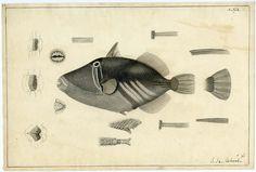 John Richard,Illustration of Balistoid, 1838