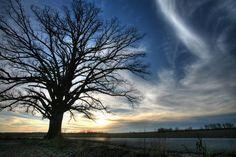 The Big Burr Oak Tree at McBaine