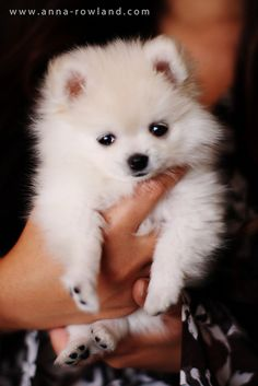 Butter, the teacup Pomeranian Teacup Pomeranian, Teacup Puppies, Pomeranian Puppy, Cute Puppies, Dogs And Puppies, Pomsky, Pomeranians, Doggies, Pet Dogs