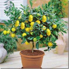 Jual Lemon Bonsai Unggul - Lihat Kebunku | Tokopedia
