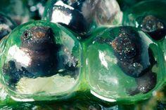 rain-frogs-in-eggs11.jpg (500×333)