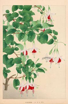 Fuchsia from Chigusa Soun Flowers of Japan Woodblock Prints 1900