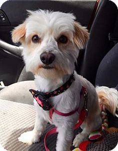 Mission Viejo, CA - Maltese/Poodle (Miniature) Mix. Meet Trixie, a dog for adoption. http://www.adoptapet.com/pet/12951192-mission-viejo-california-maltese-mix