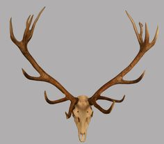 stag antlers with skull