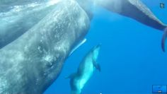 #1040 Sperm whales look out for their little buddy, a deformed dolphin