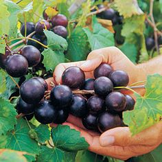 Muscadine – Wild Food Foraging, Identification & Recipes » The Homestead Survival
