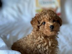 Tiny Toy Poodle, Toy Poodle Puppies, Dogs And Puppies, Chinese Crested Dog, Mans Best Friend, Gaia, Cute Dogs, Labrador Retriever, Wildlife