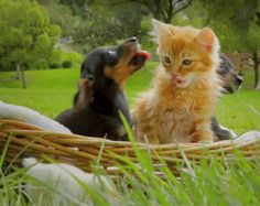 Two puppies, a kitten, and a chicken