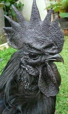 Ayam Cemani Jantan  ✌it's real. Black cock.