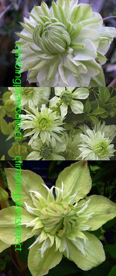 2+x+Clematis+Peppermint+%28%27Evipo005%27%29%2E+This+Hardy+Perennial+Climber+has+been+container+grown+so+can+be+planted+at+any+time+of+the+year%2E+We+despatch+WITH+container+so+the+roots+are+safe%2E
