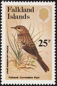 Falkland Pipit (Anthus correndera grayi)