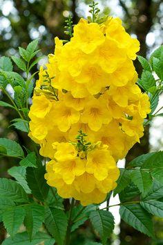 Color Garden_ 6 Esparanza-(yellow bells)
