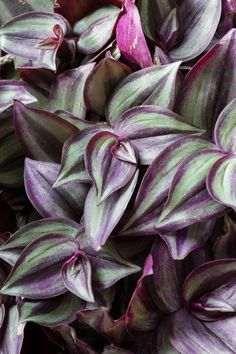 How to Care for a Wandering Jew Plant: Wandering Jew Care Tips Learn how to care for a wandering jew plant. The wandering jew plant is hardy and easy to care for. It will make the perfect addition to your collection! Exotic House Plants, Easy House Plants, Easy Care Plants, Pothos Plant, Plant Cuttings, Peace Lily, Wondering Jew Plant, Plante Pothos, Types Of Houseplants