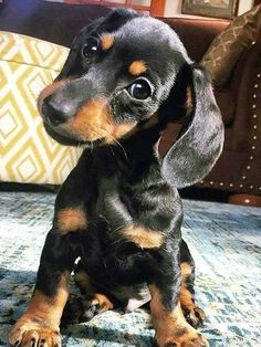 """Exceptional """"dachshund pups"""" info is offered on our website. Have a look and you wont be sorry you did. Sweet Dogs, Cute Baby Dogs, Cute Little Puppies, Cute Dogs And Puppies, Cute Funny Animals, Cute Baby Animals, Animals And Pets, Wild Animals, Weenie Dogs"""