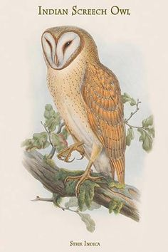 Strix Indica - Indian Screech Owl. High quality vintage art reproduction by Buyenlarge. One of many rare and wonderful images brought forward in time. I hope they bring you pleasure each and every tim