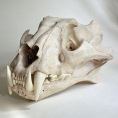 Tiger Skull Replica by artskulls on Etsy Skull Anatomy, Cat Anatomy, Animal Anatomy, Skull Reference, Anatomy Reference, Tiger Skull, Skull Art, Animal Skeletons, Animal Skulls