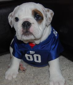 english bullldog puppy wears nfl giants 00 home football jersey   dogs