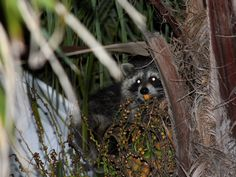 young raccoon up in the palm tree