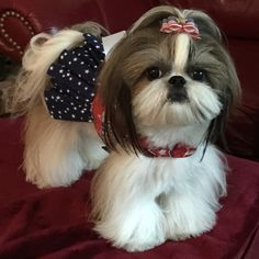 cute little Shih Tzu