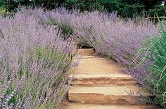 Front yard. Loves that this attracts butterflies! Drought-Tolerant Plants: Russian Sage