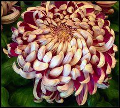Chrysanthemum   Center of Flower