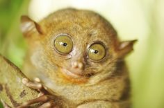 Tiny monkeys are the cutest. In this article, we will look at all the small monkey breeds out there and check out some interesting facts… Small Monkey, Pet Monkey, Creatures Of The Night, All Gods Creatures, Monkey Breeds, New World Monkey, Mind Blowing Facts, Cute Eyes, Little Monkeys