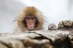 The Snow Monkey Stare | Owen Schaefer