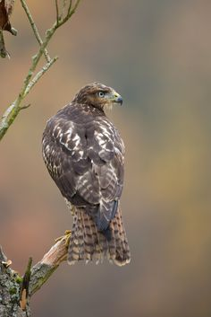 Red-Tailed Hawk by Milan Zygmunt **