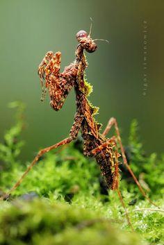 Community Post: 10 Surprisingly Stunning Species Of Mantis