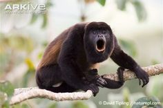 Male mantled howler monkey howling - David Tipling