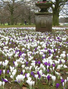 War Memorial Park in Coventry England. My favourite flower is the Crocus, which turns whole patches of lawn purple, yellow white and mauve bringing with it the first indication that winter is over.
