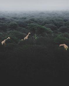 Can you spot all four giraffes?  cc: @donalboyd