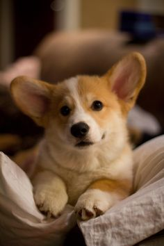 Rudy the adorable Corgi