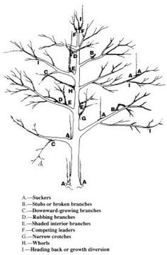 pruning a tree | How to prune a mature apple or pear tree