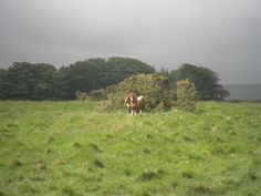 The Dartmoor pony has lived in south-western England for centuries and is kept in a semi-feral state on Dartmoor, Devon.