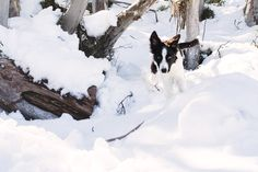 Puppy's First Snow Trip!  Rosie the Border Collie Pup by Akemi Photography   Pretty Fluffy