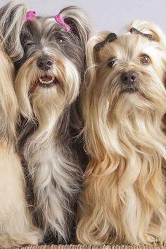 Pin para cruzas de perros de raza