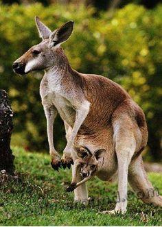 Кенгуру / Kenguru сумчатое животное Австралии, бумер, австралийское животное