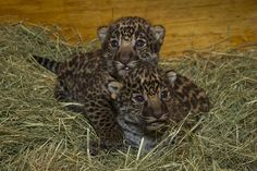 Introducing the first jaguar cubs born at the Zoo since 1989! We couldn't be more excited.