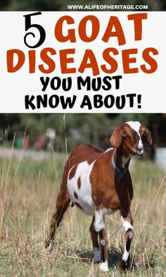 Goats can get sick with any number of diseases and different ways but these goat sicknesses and diseases you need to know about. Raising Farm Animals, Raising Goats, Cabras Boer, Breeding Goats, Goat Feeder, Goat Shelter, Goat Pen, Boer Goats, Pigmy Goats