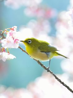 Japanese White-eye (Zosterops japonicus) Small Birds, Love Birds, Pet Birds, Colorful Animals, Colorful Birds, Cute Animals, Japanese Bird, Most Beautiful Birds, Australian Birds