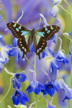 Tropical Butterfly, Graphium  stresemanni, photography by:  Darrell Gulin