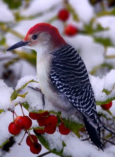 Contrast! Red Bellied Woodpecker Photograph  - Ron Jones; Red Bellied Woodpecker Fine Art Print